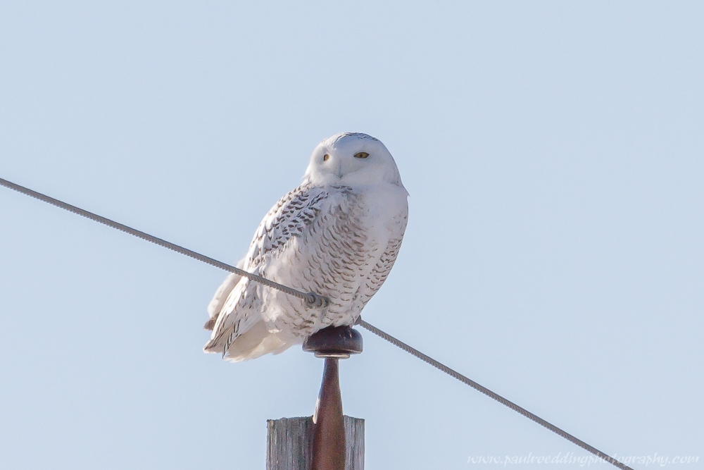 snowy - Snowy Owls Have Returned To Southwestern Ontario