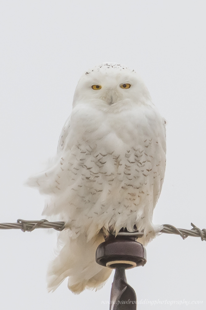 snowy2 - Snowy Owls Have Returned To Southwestern Ontario