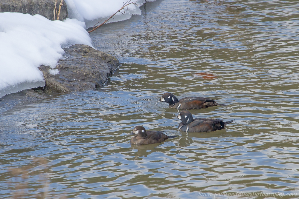 harl 4 - Once Again Harlequin Ducks Make An Appearance On The Thames River