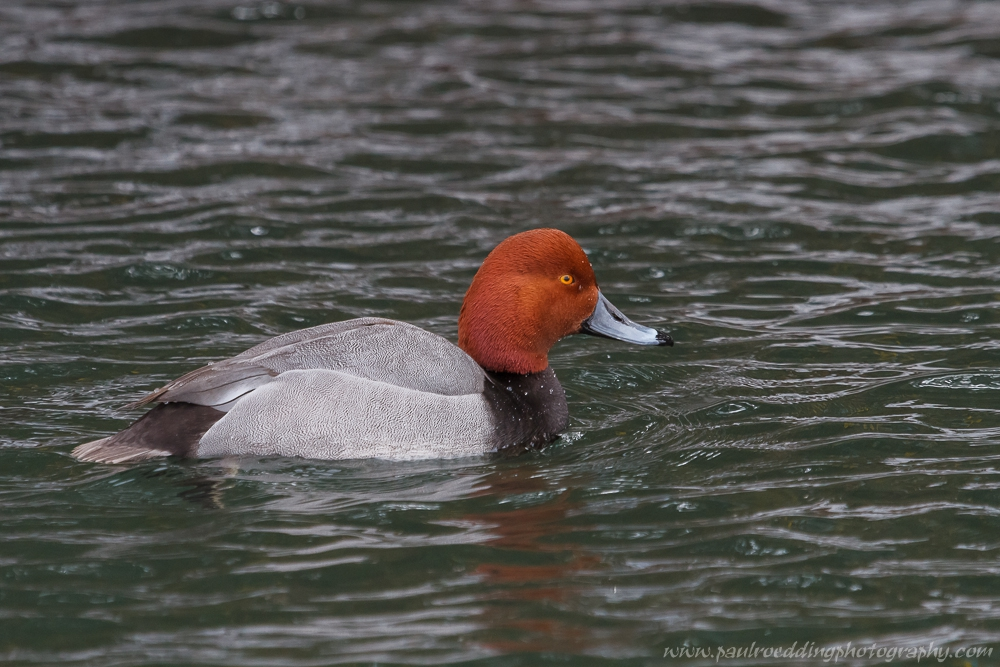 male redhead - Male Redhead Provides Excellent Views