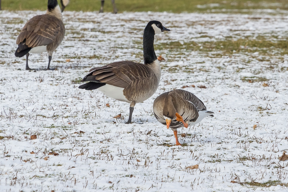 preen - Greater White-Fronted Goose Observed In West London