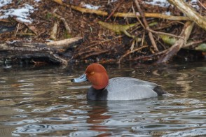 Male Redhead duck in a pond against a stick covered bank.