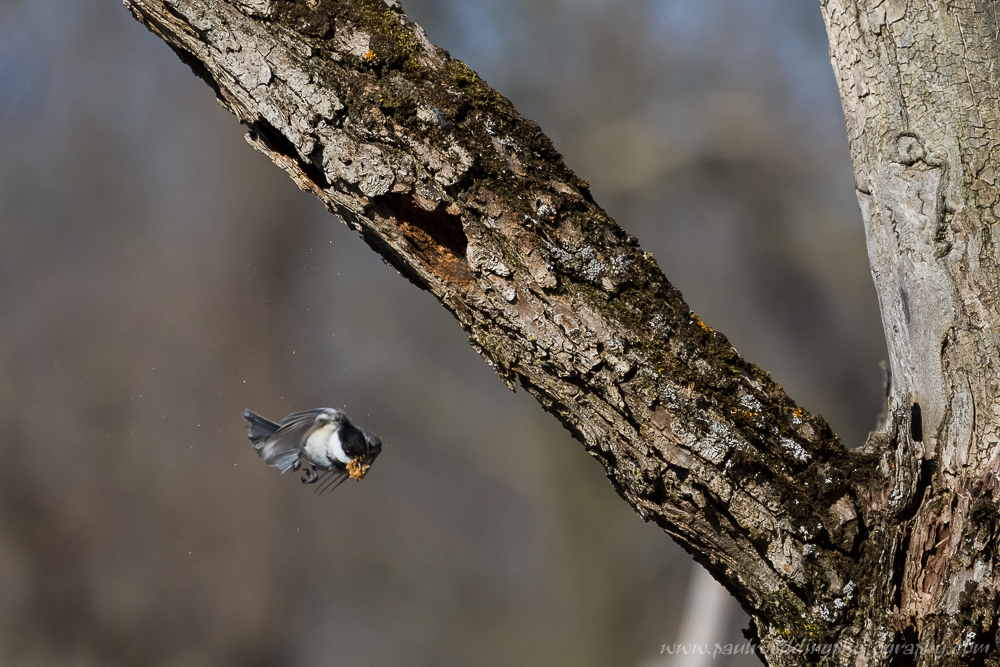 Black-capped Chickadee in flight will a beak full of wood as it excavates a nest cavity.