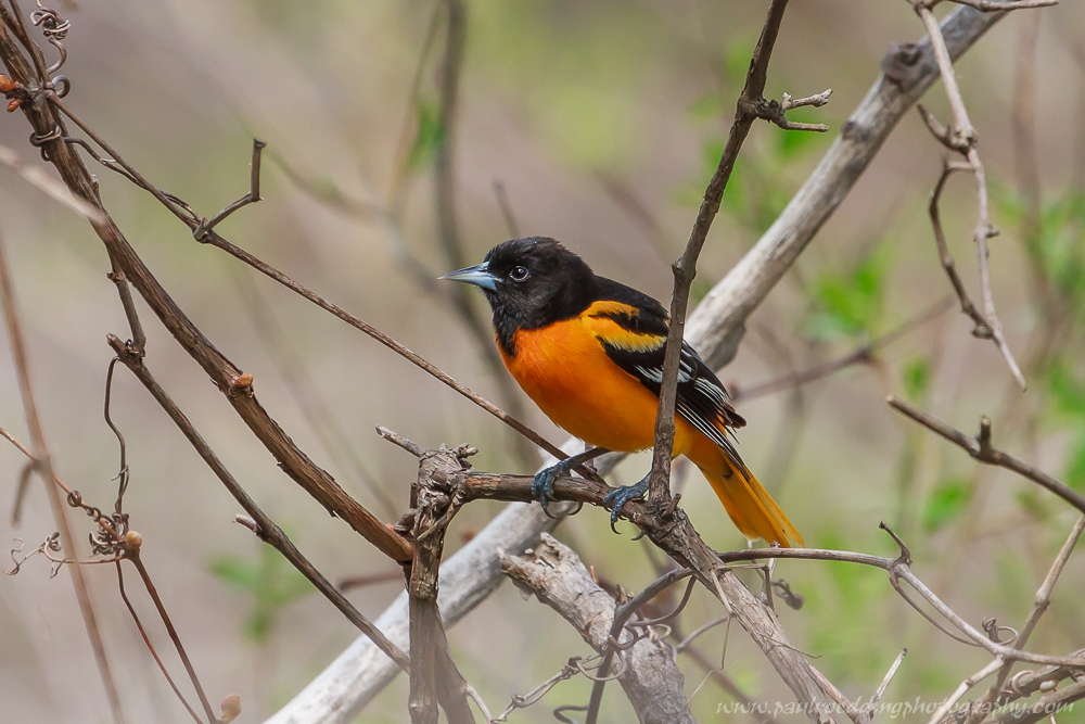 Male Baltimore Oriole displaying its colourful black and orange plumage.