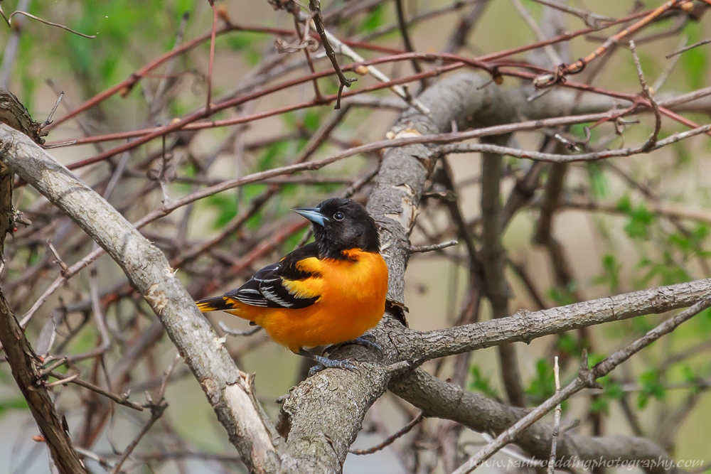 Baltimore Oriole looking over its right shoulder from an tangled vine thicket.