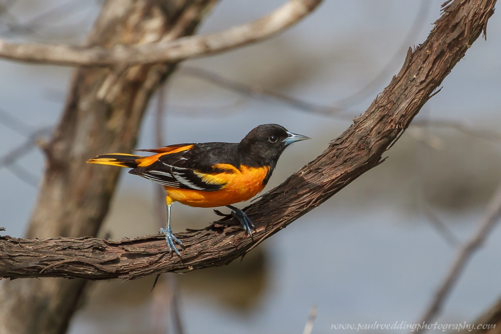 Male Baltimore Oriole perched on a Cedar vine.