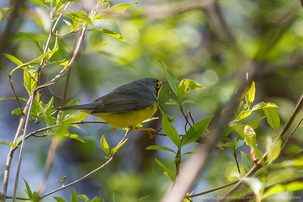 Canada Warbler photographed while birding in London, Ontario.