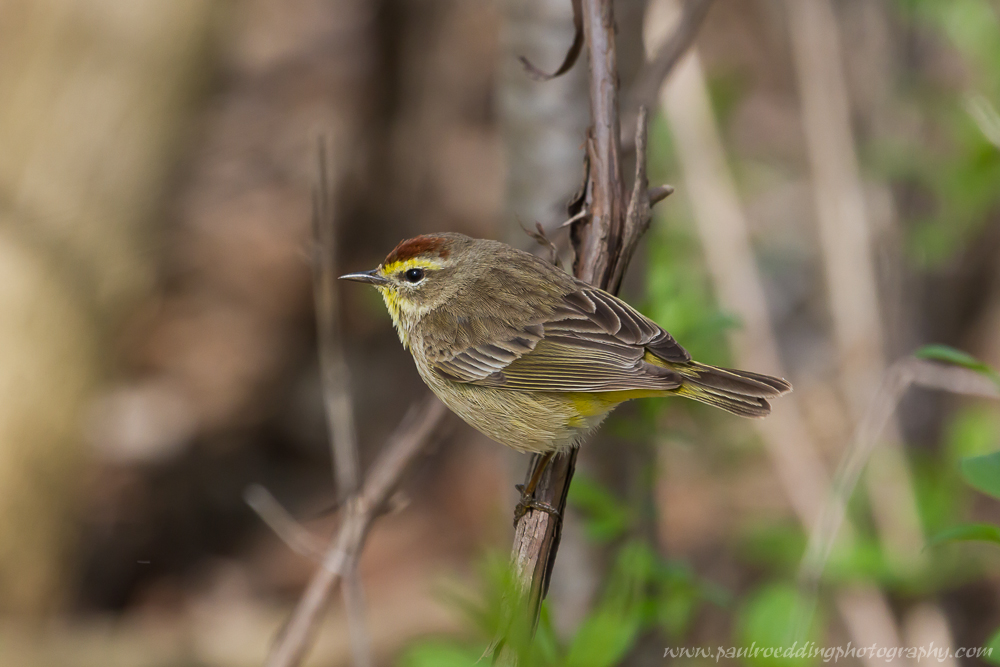 Palm Warbler perched in a small shrub.