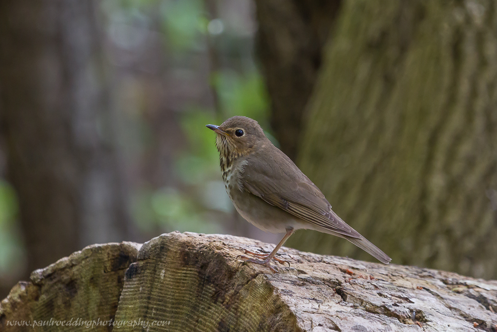 Swainson's Thrush perched on a large Ash log near the forest floor.