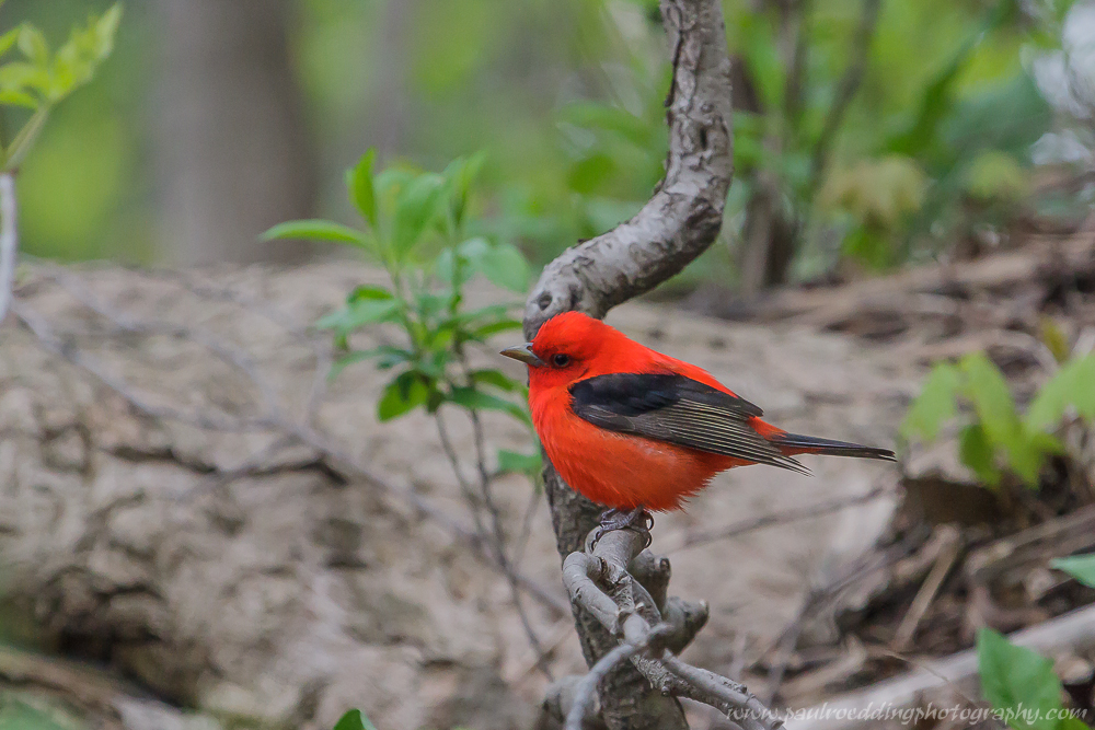 Scarlet Tanager perched on a small limb near the forest floor.