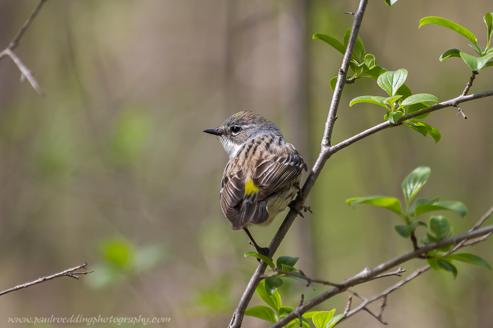 Yellow-rumped Warbler perched in a small tree with newly emerging leaves.