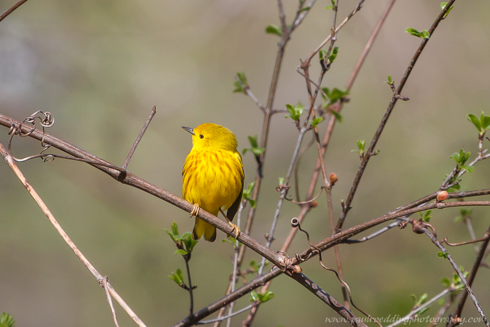 Yellow Warbler with its head turned to the right in a small shrub.
