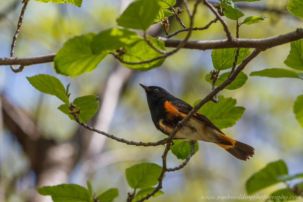 as - Warbler Migration Does Not Disappoint <br> In The Forest City