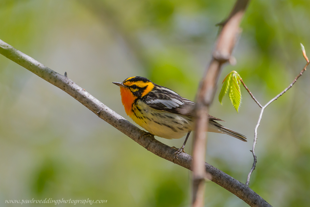 bbw - Warbler Migration Does Not Disappoint <br> In The Forest City