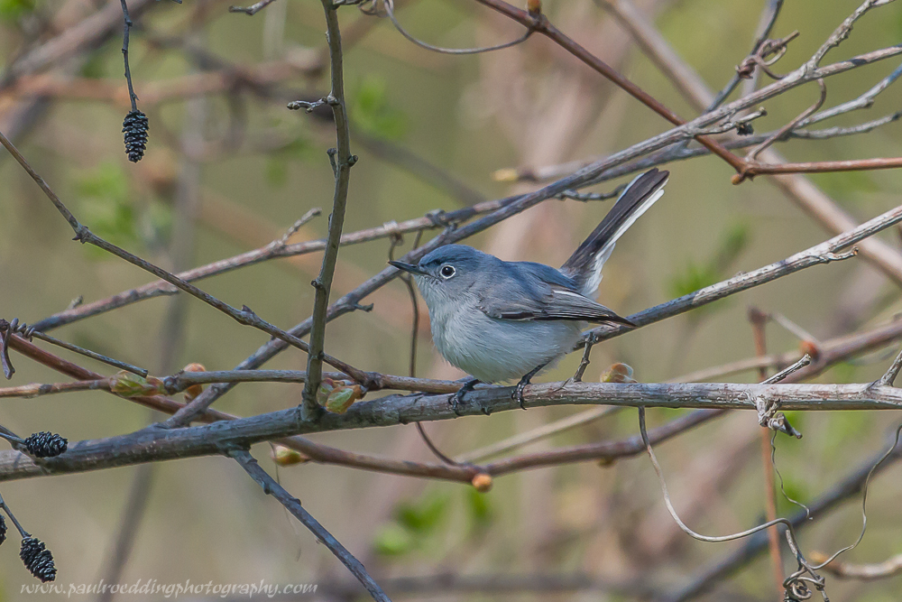 bg - Good Birding Report: London, Ontario <br> May 6 - 13, 2016