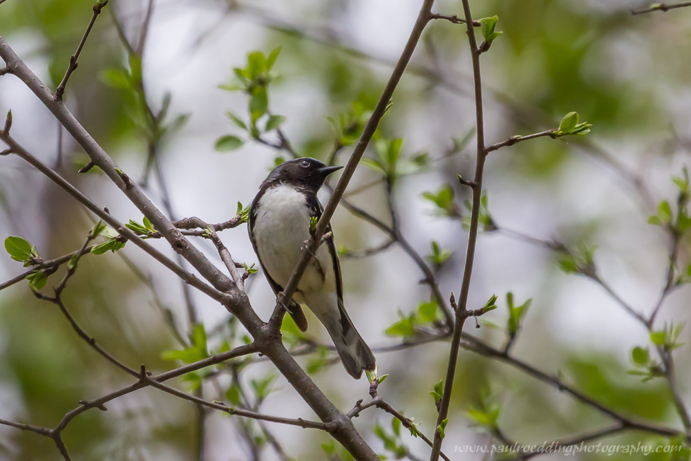 btb - Good Birding Report: London, Ontario <br> May 6 - 13, 2016