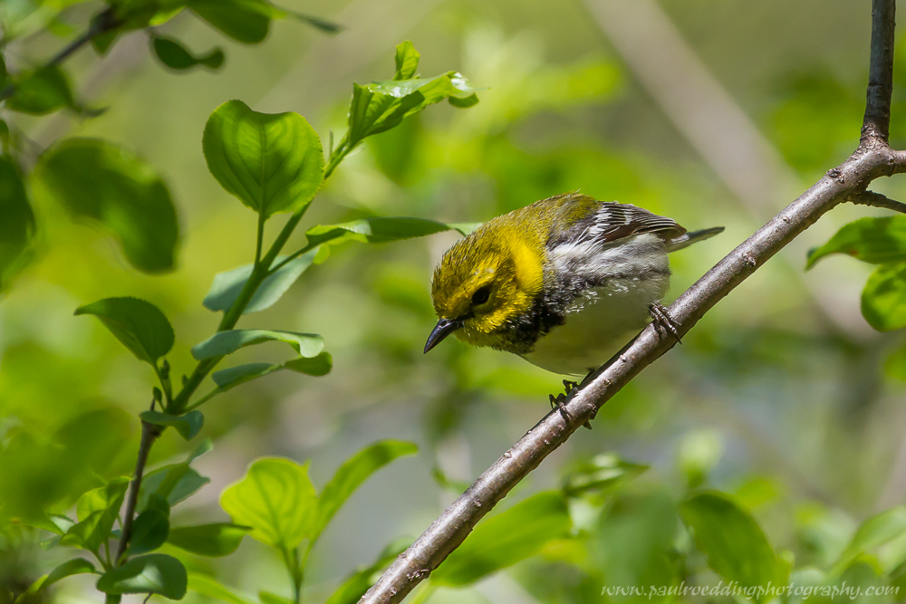 btg 1 - Warbler Migration Does Not Disappoint <br> In The Forest City