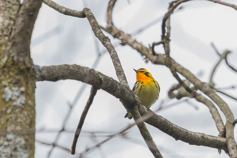 bw - Good Birding Report: London, Ontario <br> May 6 - 13, 2016