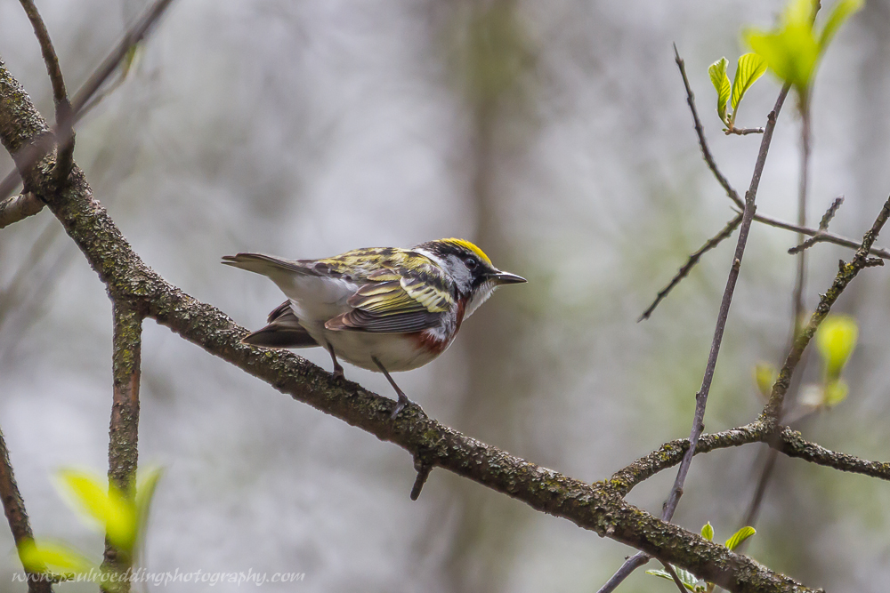 csw - Good Birding Report: London, Ontario <br> May 6 - 13, 2016