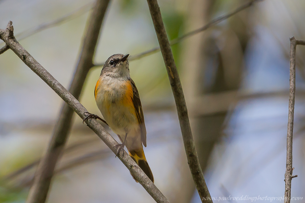 fas - Warbler Migration Does Not Disappoint <br> In The Forest City
