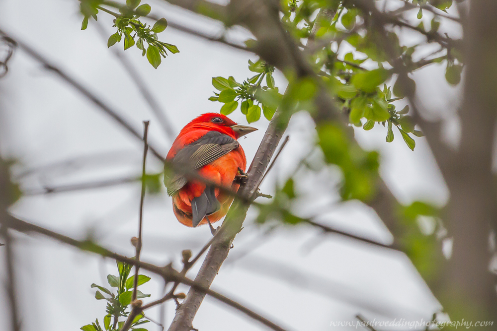 The vibrant plumage of the Scarlet Tanager observed in London, Ontario during spring migration.