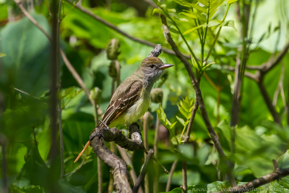Great Crested Flycatchers have migrated back to Southwestern Ontario, and are on of many birds observed while birding.