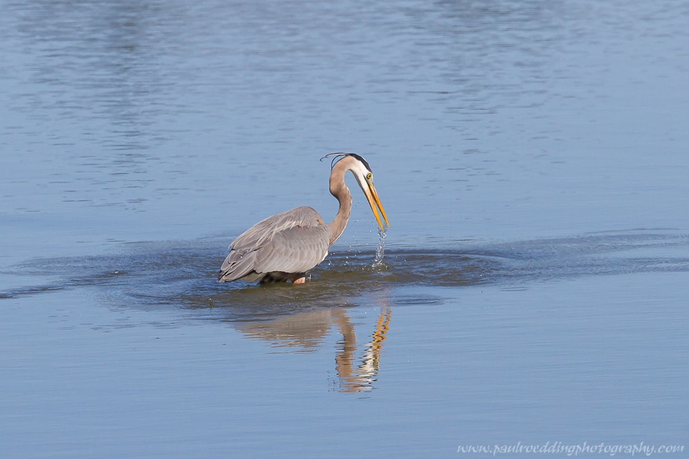 heron - Stormwater Management Ponds: <br> Often Overlooked Birding Hotspots