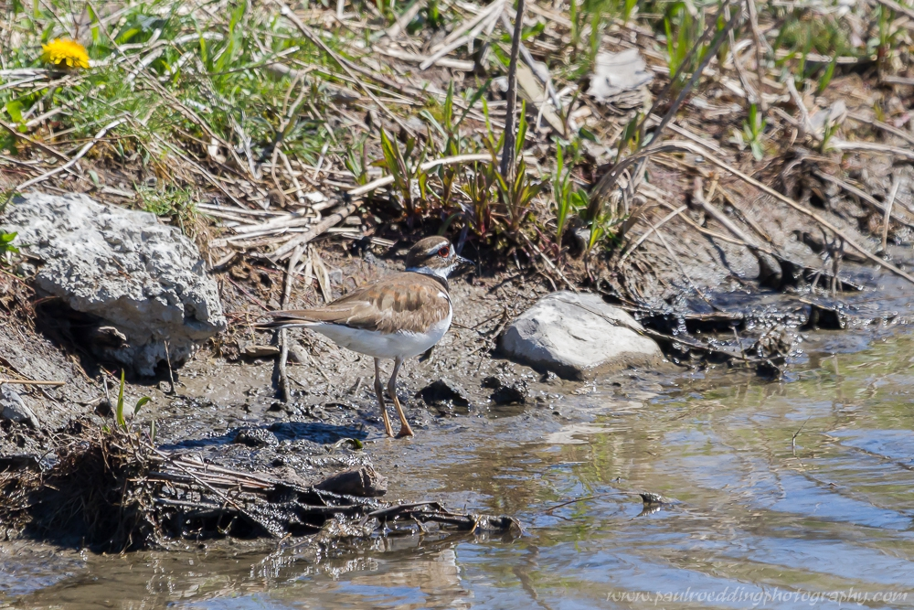 kill - Stormwater Management Ponds: <br> Often Overlooked Birding Hotspots