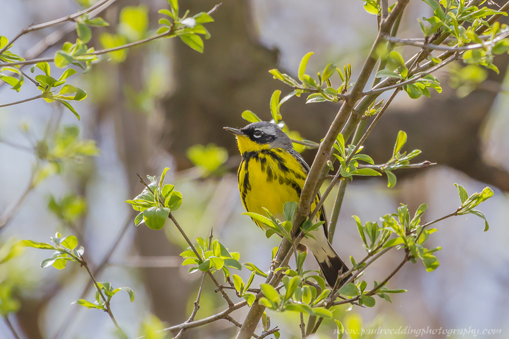 Magnolia Warbler perched in a small shrub with newly emerging foliage.