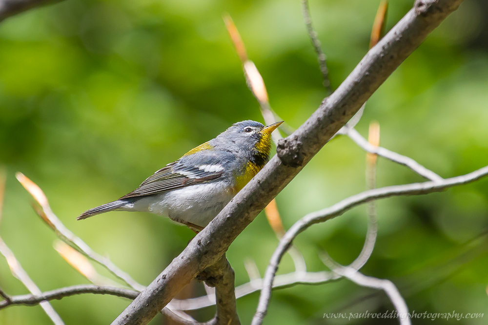 np 1 - Warbler Migration Does Not Disappoint <br> In The Forest City