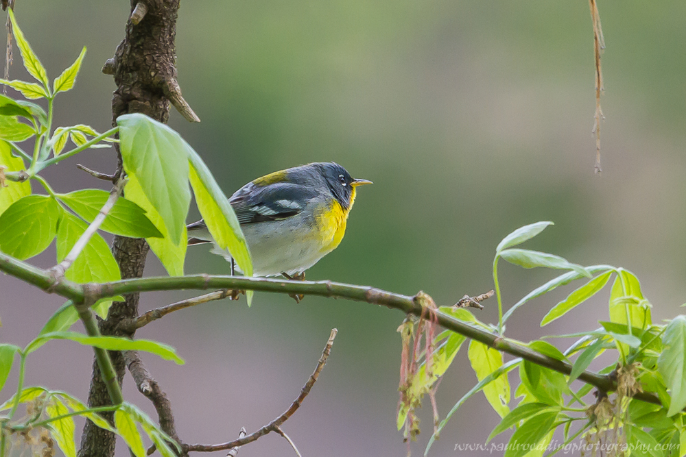 Northern Parula showing off its colourful yellow breast feathers.