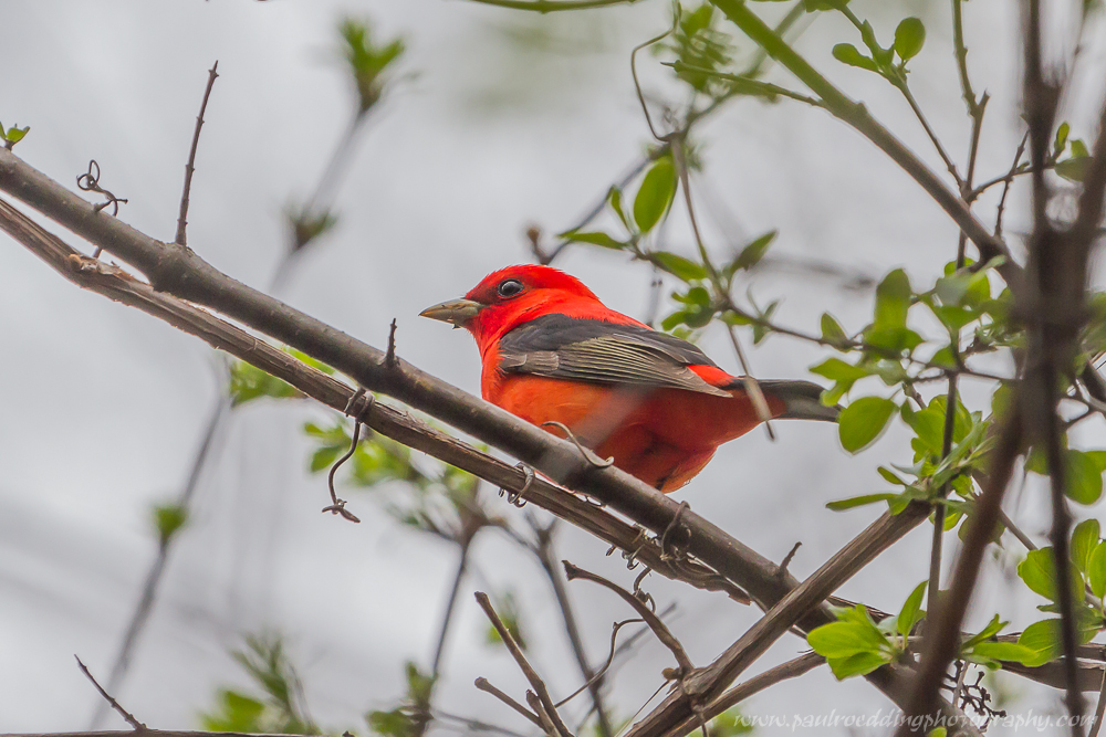 tan - Good Birding Report: London, Ontario <br> May 6 - 13, 2016