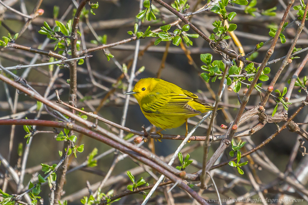 Yellow Warbler perched in a thicket.