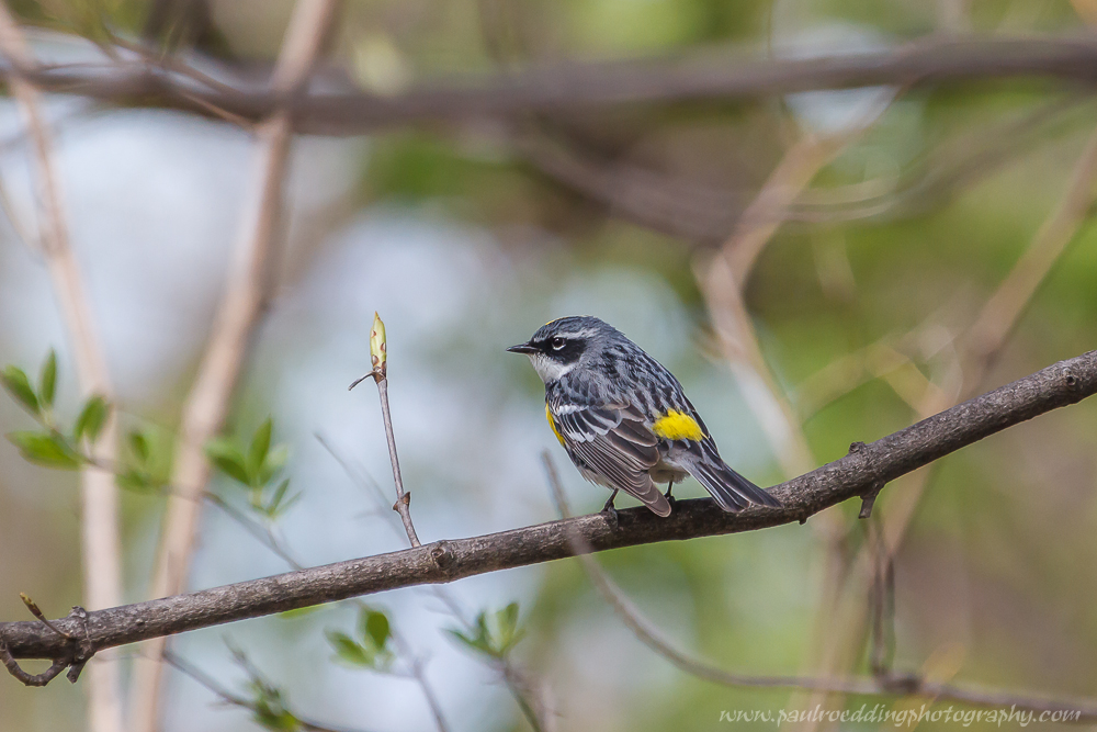 Male Yellow-rumped Warbler perched in a tree.
