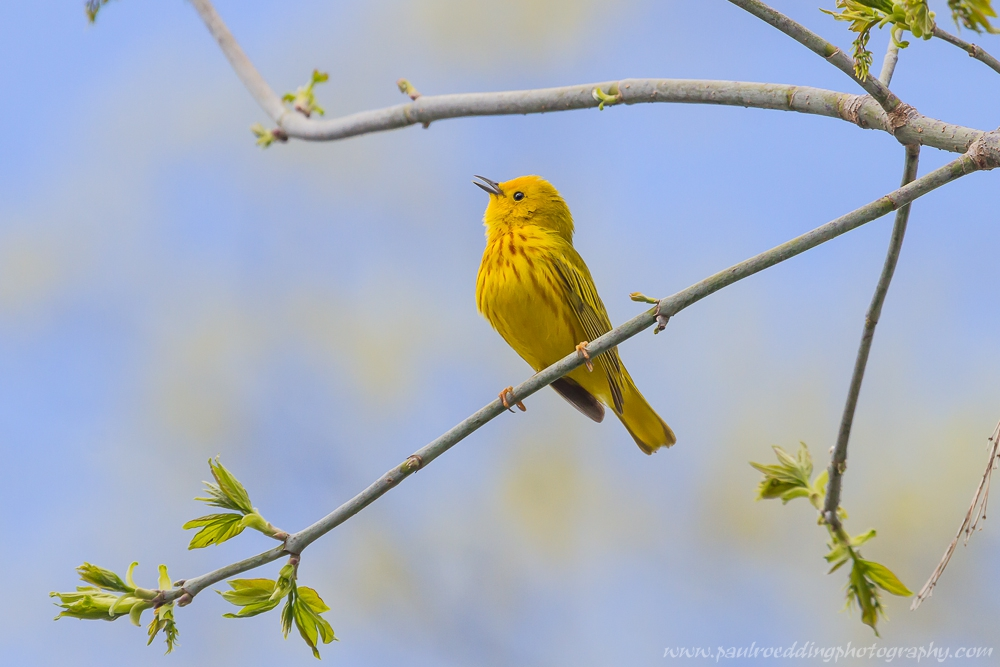 Yellow Warbler perched in a tree singing against a blue sky.