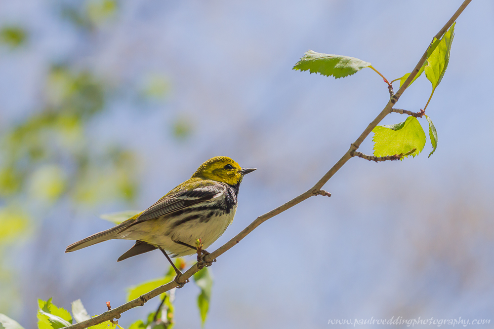 Black-throated Green Warbler perched on a small limb with emerging green leaves and a blue sky.