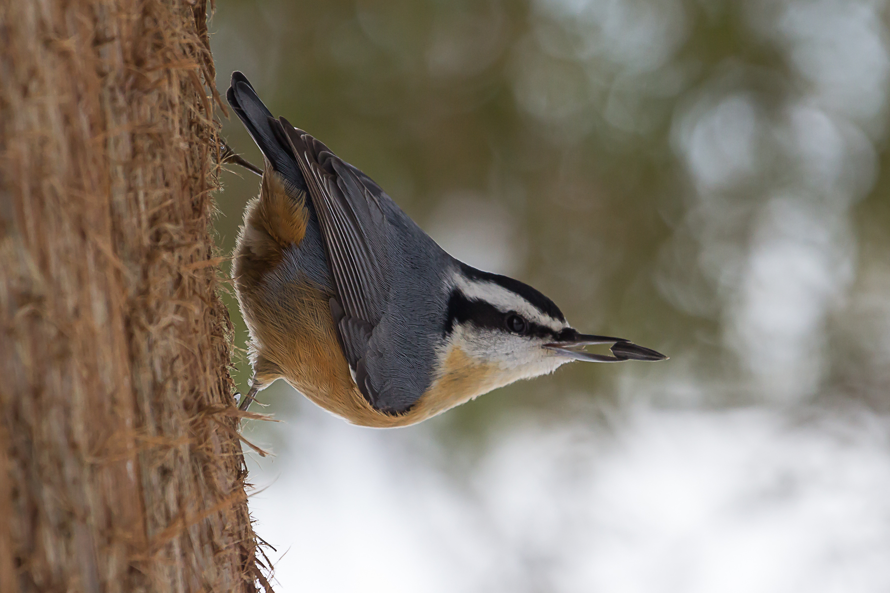Red-breasted Nuthatch photographed by Paul Roedding