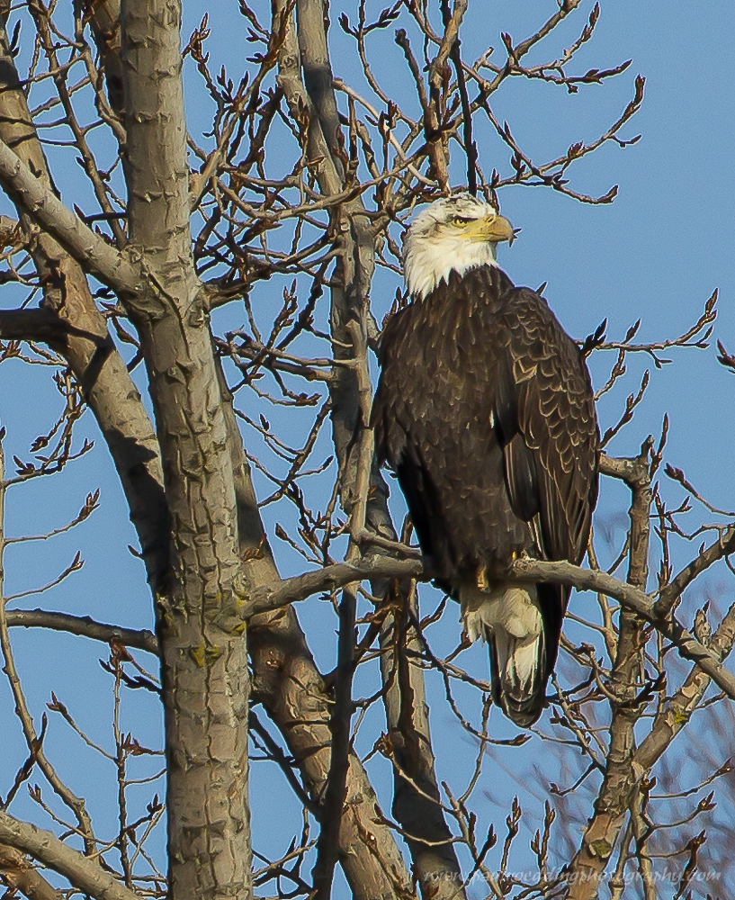 bald eagle - Leafless Trees Provide Great Views Of Raptors
