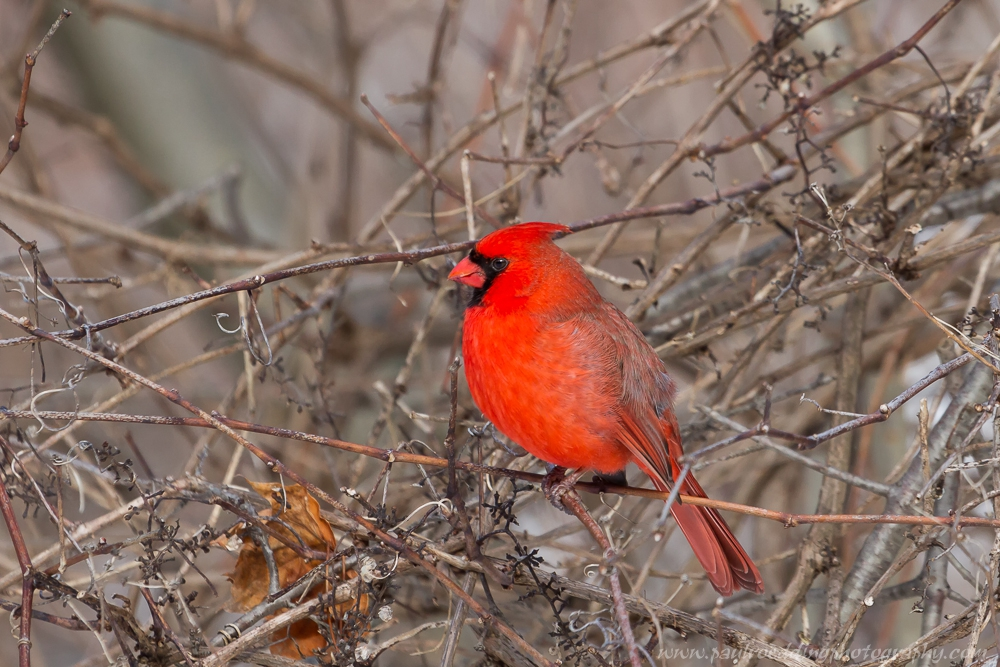 Many Northern Cardinals could be heard over the Family Day weekend as they try to attract mates and defend territories.