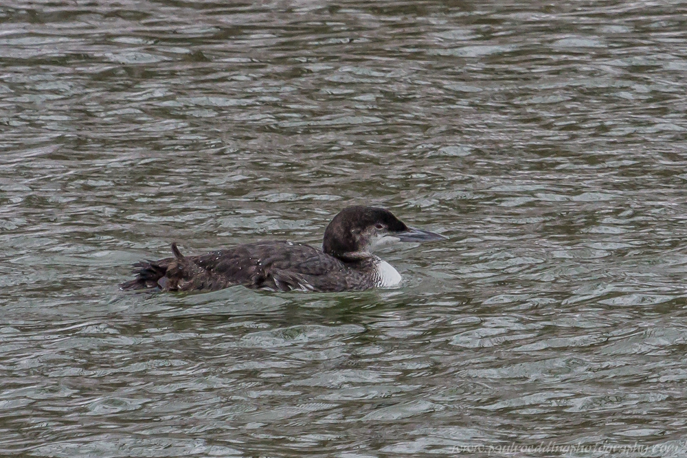 cl - Common Loon On The Thames River In Springbank Park
