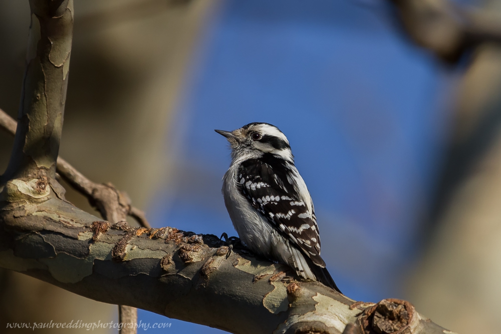 Female Downy Woodpecker perched in a Sycamore Tree.