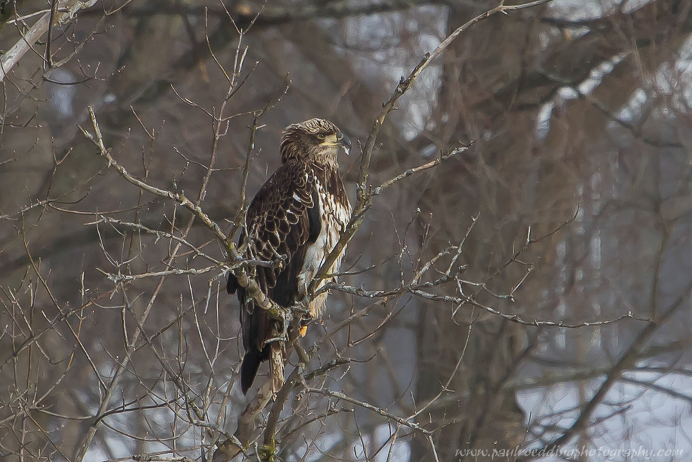 ime - Leafless Trees Provide Great Views Of Raptors