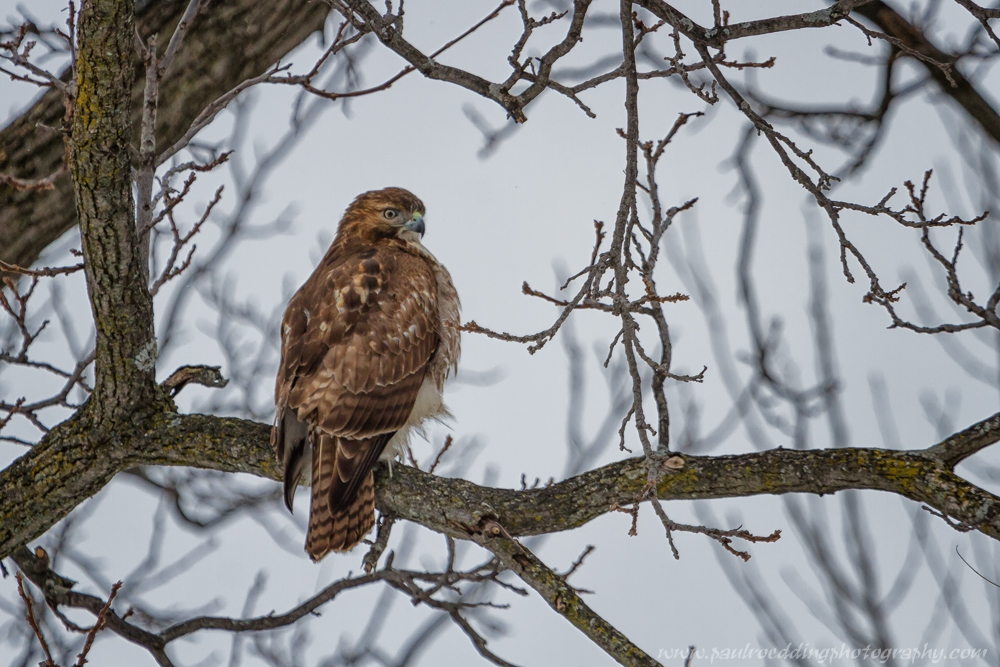 rth1 - Leafless Trees Provide Great Views Of Raptors
