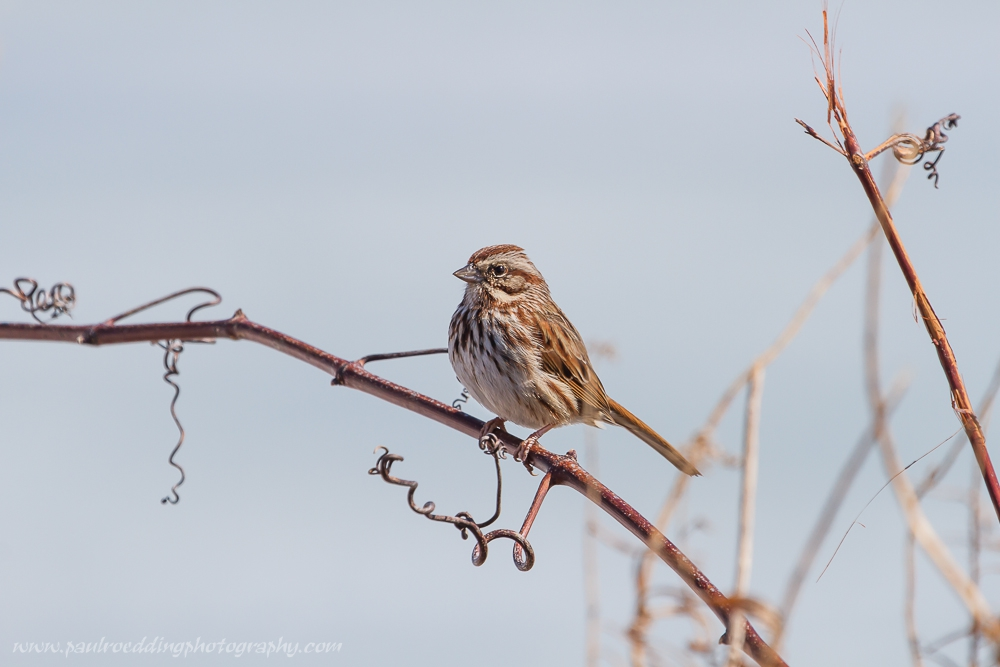This Song Sparrow was photographed over the Family Day weekend in Port Stanley, Ontario