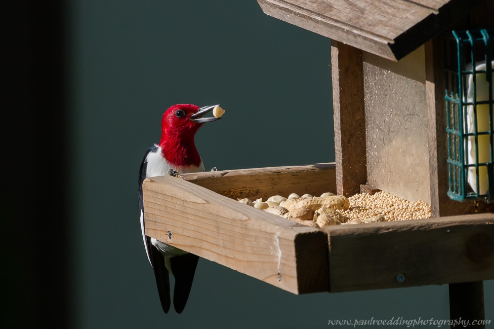 red - Red-headed Woodpecker: An Unexpected Backyard Visitor