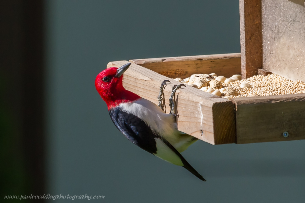 redhead - Red-headed Woodpecker: An Unexpected Backyard Visitor