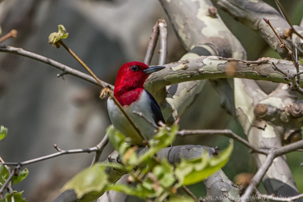 woody 2 - Red-headed Woodpecker: An Unexpected Backyard Visitor