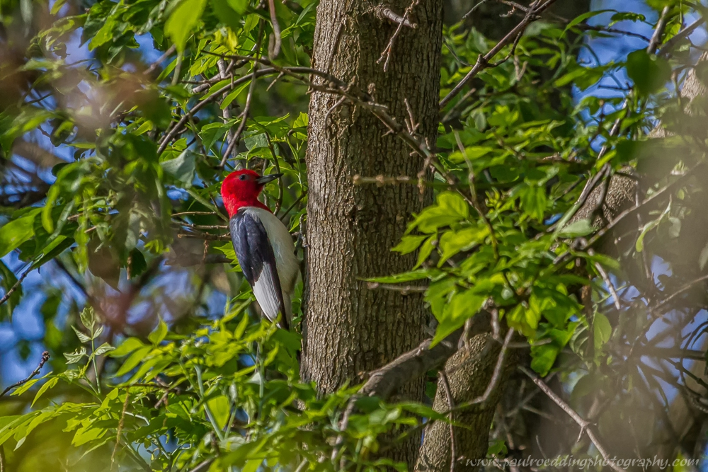 woody 3 - Red-headed Woodpecker: An Unexpected Backyard Visitor