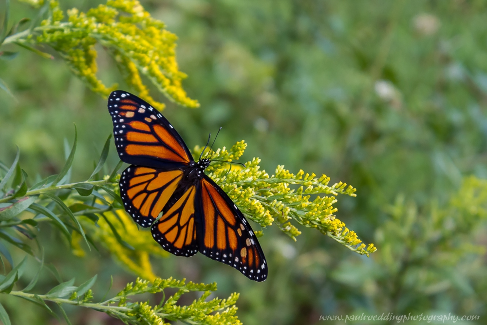 Mongold - Monarch Or Viceroy? <br> Look For Subtle Differences To Positively Identify These Similar Butterflies