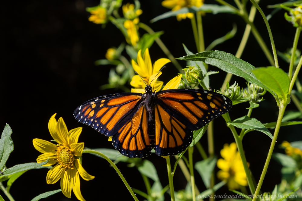 Watermark - Monarch Or Viceroy? <br> Look For Subtle Differences To Positively Identify These Similar Butterflies